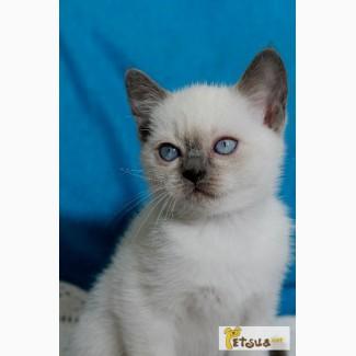 Тайские котята - девочка блюшка, егоза))