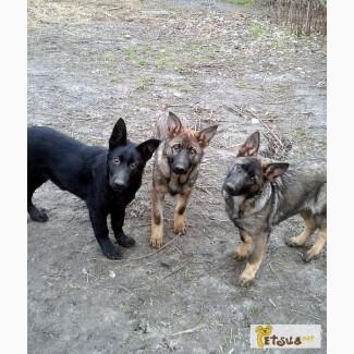 Продам подрощеных щенков ВЕО