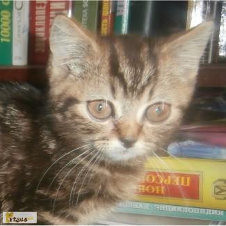 Скоттиш-страйт котята