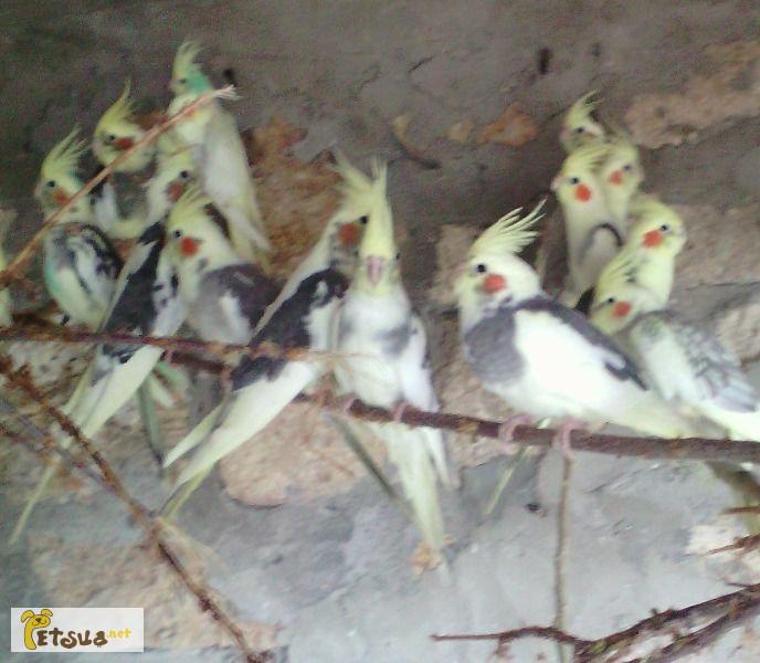 Фото 1/1. Попугай корелла. Опт и розница. Николаев