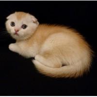 Продам необычайно редкого и красивого шотландского котенка скоттиш-фолд (Scottish Fold). М