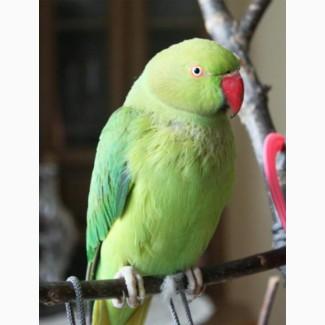 Возьму в хорошие руки ожерелового попугая