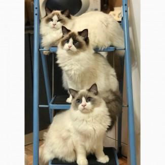 Шикарные котята уникальной и редкой породы – рэгдолл
