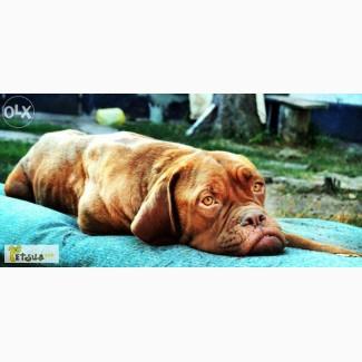 Продам щенков Бордоского дога