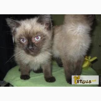 Продам тайских котят