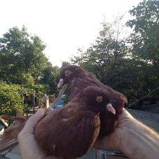 Фото 1/6. Продам голубей старой Херсонской породы летные