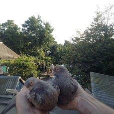 Фото 2/6. Продам голубей старой Херсонской породы летные