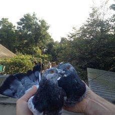 Фото 3/6. Продам голубей старой Херсонской породы летные