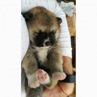 Алиментный щенок Акита-Ину