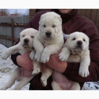 Продам щенков алабая, САО