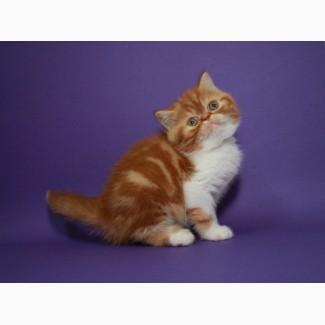Котёнок-кошечка, экзотическая короткошерстная в окрасекрасная мраморная