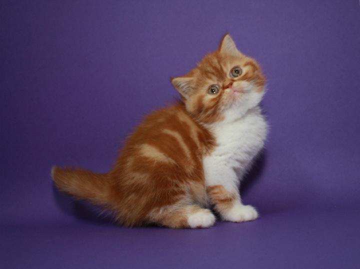 Фото 1/4. Котёнок-кошечка, экзотическая короткошерстная в окрасекрасная мраморная