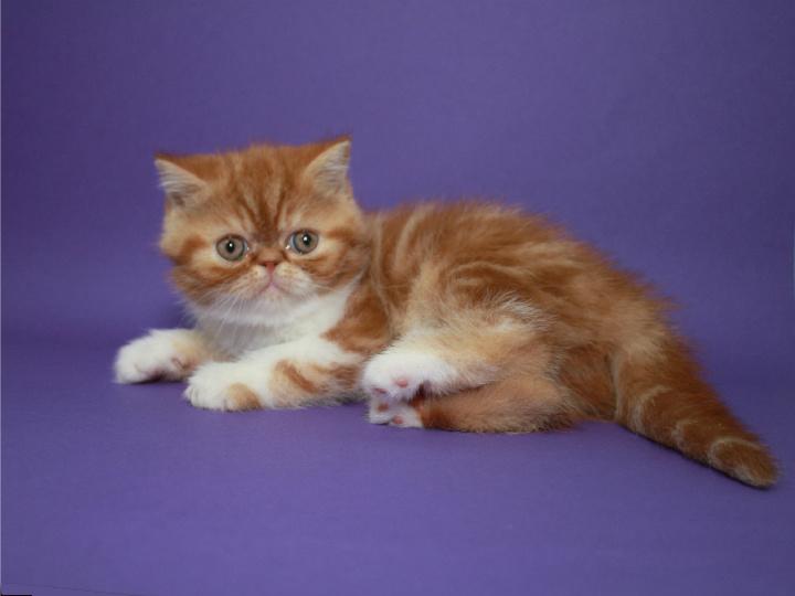 Фото 3/4. Котёнок-кошечка, экзотическая короткошерстная в окрасекрасная мраморная