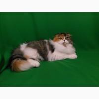 Кошечка хайленд фолд клубная, привитая