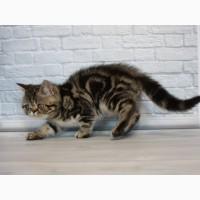 Котёнок. Котик Экзотик, мраморный породистый мальчик