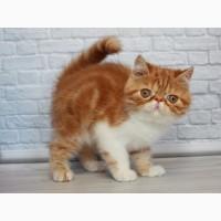 Яркий клубный дружелюбный котёнок Экзотический короткошерстный