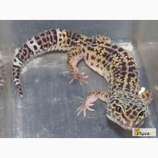 Продам всем любителям экзотики по доступной цене бархатных гекконов эублефаров разных разм