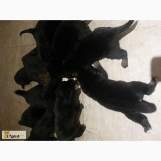 Щенки савойской овчарки