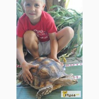 Питомник jungle-park. Гигантская шпороносная черепаха