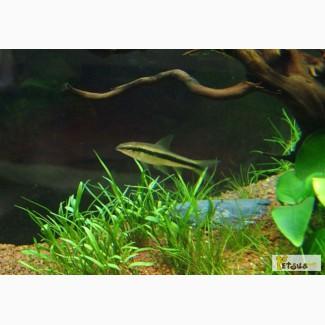 Сиамский водорослеед SАЕ Siamese Algae Eater