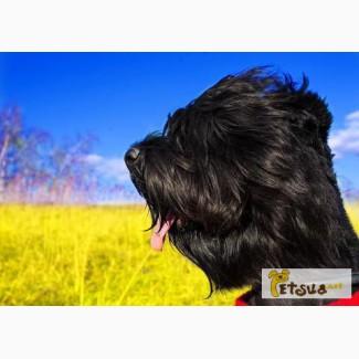 Продам щенков русского чёрного терьера