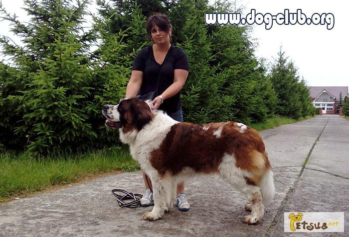 Фото 5. Московская сторожевая, алиментный щенок, лучший в помете, FCI от Чемпиона Евразии