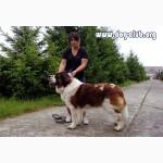 Московская сторожевая, алиментный щенок, лучший в помете, FCI от Чемпиона Евразии