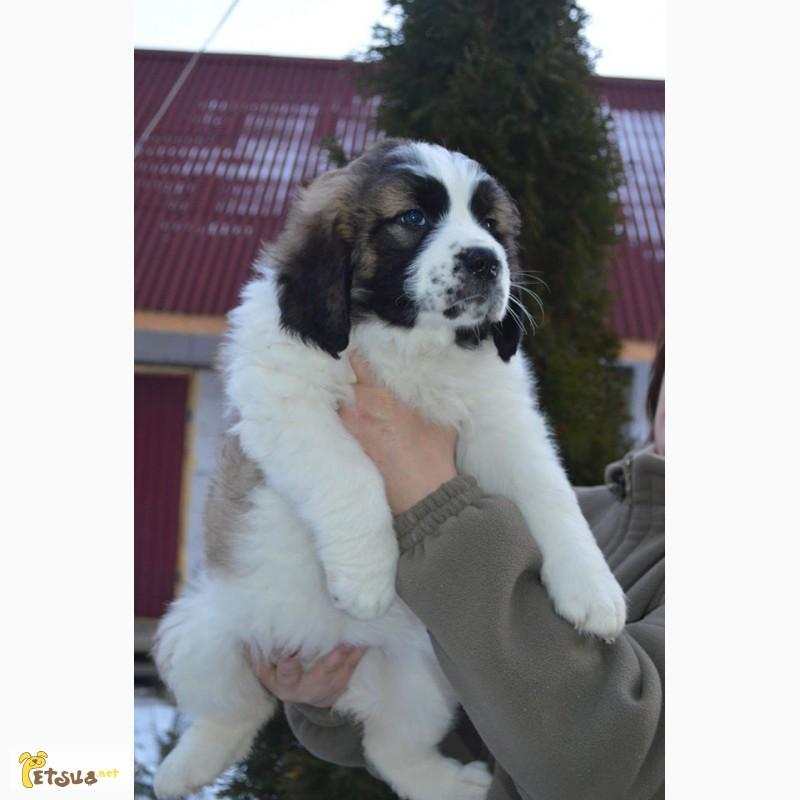 Фото 8. Московская сторожевая, алиментный щенок, лучший в помете, FCI от Чемпиона Евразии