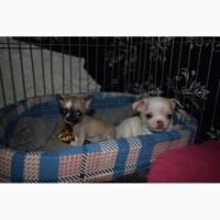 Шикарные щенки чихуа. Документы КСУ Прививки