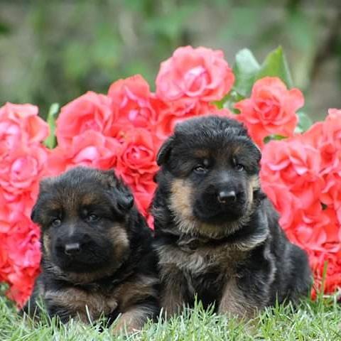 Фото 2. Чистокровные щенки немецкой овчарки КСУ/FCI
