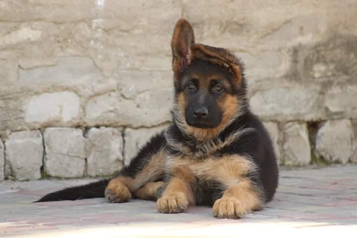 Фото 4. Чистокровные щенки немецкой овчарки КСУ/FCI
