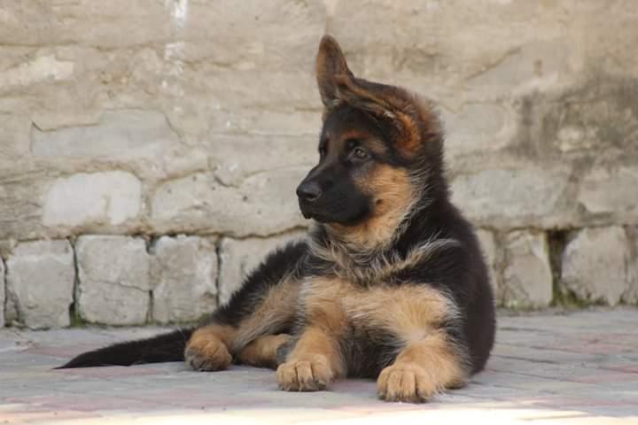 Фото 5. Чистокровные щенки немецкой овчарки КСУ/FCI