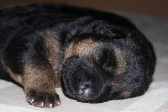 Фото 6. Чистокровные щенки немецкой овчарки КСУ/FCI