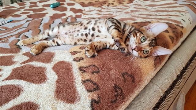 Фото 1/3. Бенгальская кошка купить Одесса
