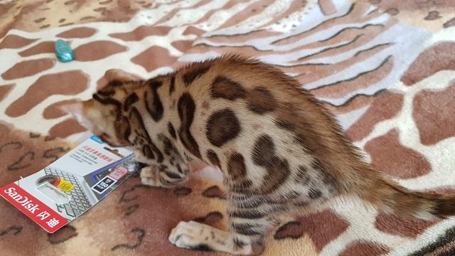 Фото 2/3. Бенгальская кошка купить Одесса