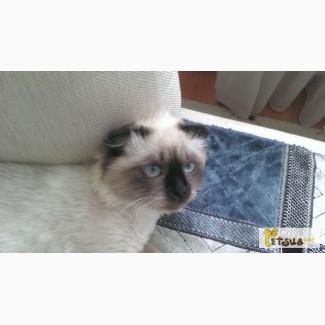 Продам котёнка невская маскарадная