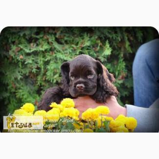 Элитные высокопородные щенки американского кокер-спаниеля с родословной КСУ (FCI) от пары