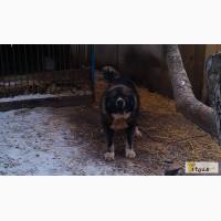 Продам щенки кавказкой овчарки