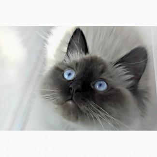 Ищем кота для вязки Невской маскарадной