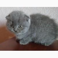 Продам котят шотландские вислоухие