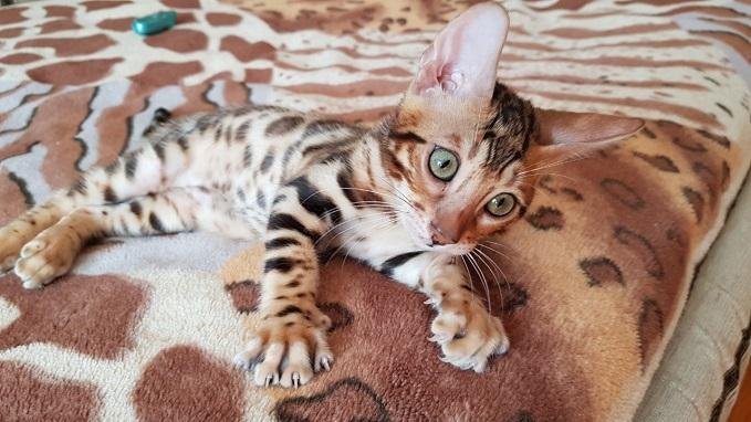 Фото 1/3. Купить бенгальского кота Винница