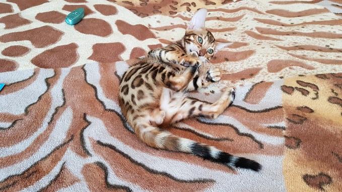 Фото 3/3. Купить бенгальского кота Винница