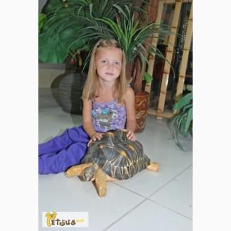 Лучистая мадагаскарская черепаха