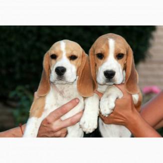 Питомник Украина предлагает на продажу высококлассных щенков бигля