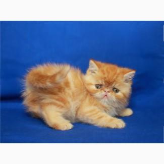 Продам яркую симпатичную кошечку-экзотку. Возраст 2 мес