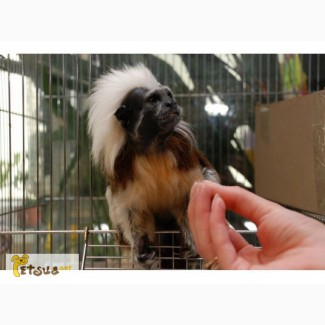 Тамарин - ручные карликовые обезьянки, разные виды