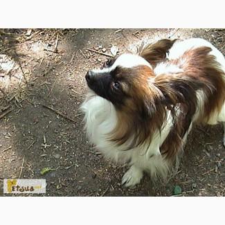 Бабочка-папийон, собачка французских королей
