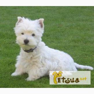 Белоснежные щенки Вест-хайленд-уайт-терьер (Вести)