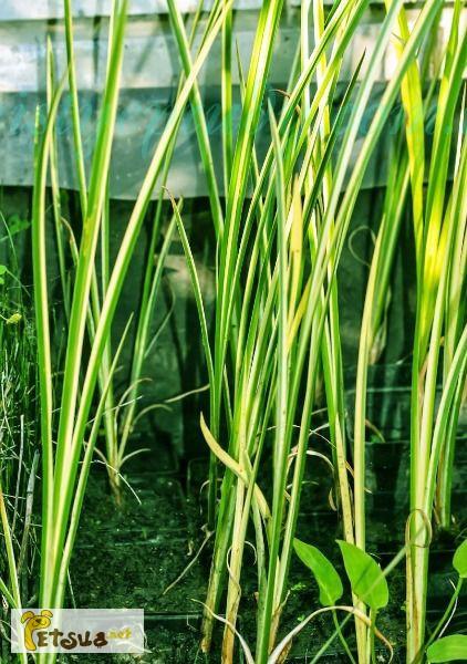Фото 1/1. Продаём водные растения, построим искусственный пруд