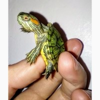 Многие мечтают завести себе красноухую черепаху! Заказывайте сейчас